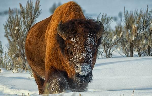 Бизон-животное-Описание-особенности-виды-образ-жизни-и-среда-обитания-бизонов-7