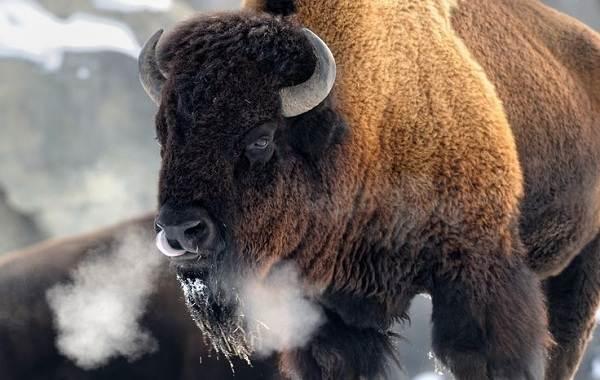 Бизон-животное-Описание-особенности-виды-образ-жизни-и-среда-обитания-бизонов-9