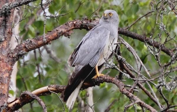 Болотный-лунь-птица-Описание-особенности-виды-образ-жизни-и-среда-обитания-луня-10
