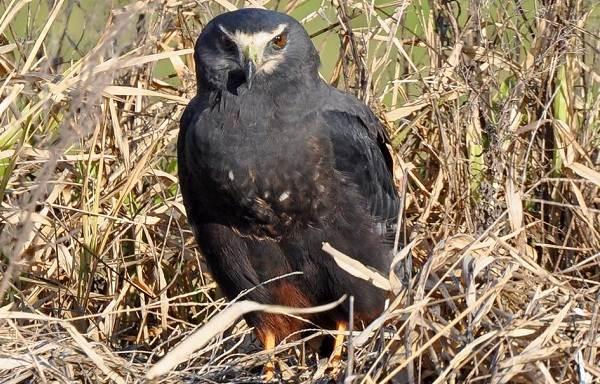 Болотный-лунь-птица-Описание-особенности-виды-образ-жизни-и-среда-обитания-луня-11
