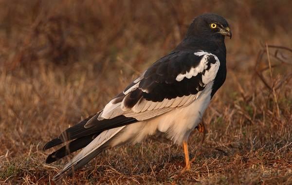 Болотный-лунь-птица-Описание-особенности-виды-образ-жизни-и-среда-обитания-луня-12