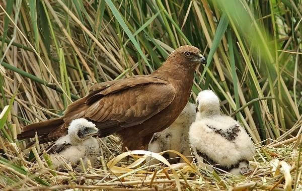 Болотный-лунь-птица-Описание-особенности-виды-образ-жизни-и-среда-обитания-луня-13