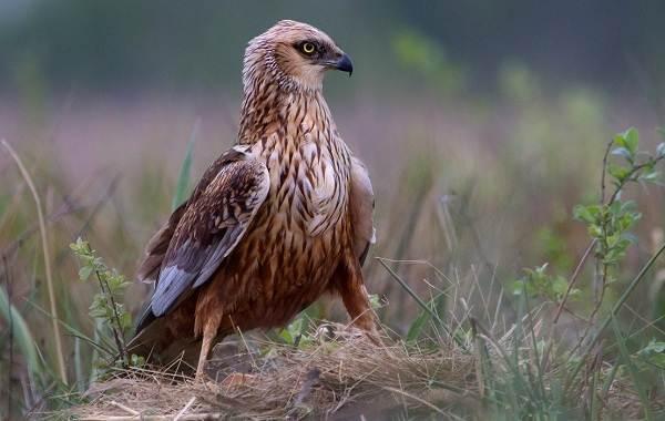 Болотный-лунь-птица-Описание-особенности-виды-образ-жизни-и-среда-обитания-луня-14