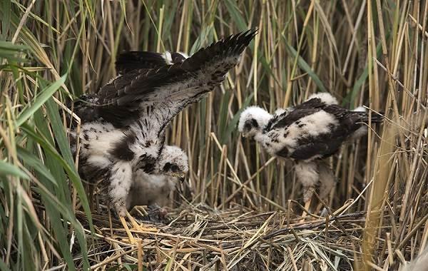 Болотный-лунь-птица-Описание-особенности-виды-образ-жизни-и-среда-обитания-луня-16