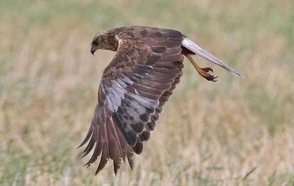 Болотный-лунь-птица-Описание-особенности-виды-образ-жизни-и-среда-обитания-луня-2