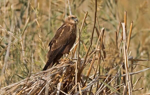 Болотный-лунь-птица-Описание-особенности-виды-образ-жизни-и-среда-обитания-луня-3