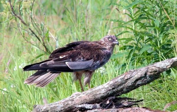 Болотный-лунь-птица-Описание-особенности-виды-образ-жизни-и-среда-обитания-луня-4