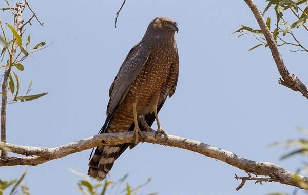 Болотный-лунь-птица-Описание-особенности-виды-образ-жизни-и-среда-обитания-луня-5