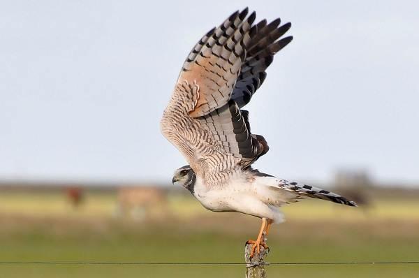 Болотный-лунь-птица-Описание-особенности-виды-образ-жизни-и-среда-обитания-луня-6
