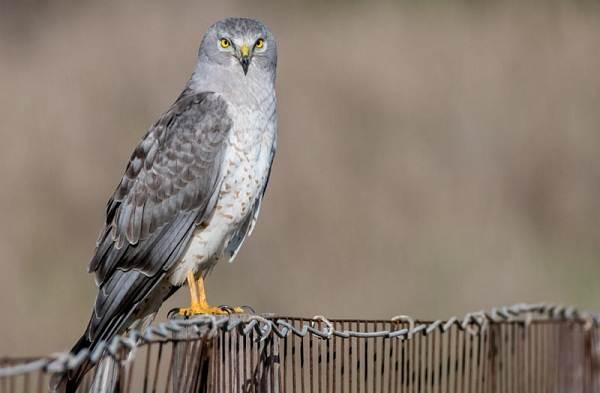 Болотный-лунь-птица-Описание-особенности-виды-образ-жизни-и-среда-обитания-луня-7