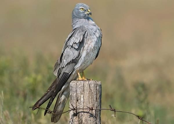 Болотный-лунь-птица-Описание-особенности-виды-образ-жизни-и-среда-обитания-луня-9