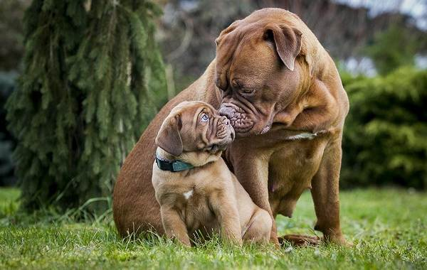 Бордосский-дог-собака-Описание-особенности-характер-уход-и-цена-породы-1