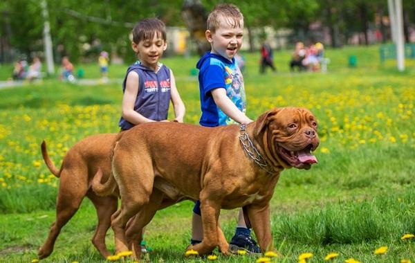 Бордосский-дог-собака-Описание-особенности-характер-уход-и-цена-породы-16