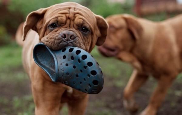 Бордосский-дог-собака-Описание-особенности-характер-уход-и-цена-породы-6