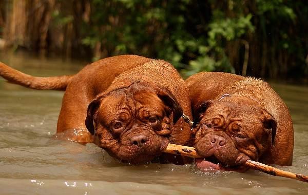 Бордосский-дог-собака-Описание-особенности-характер-уход-и-цена-породы-7