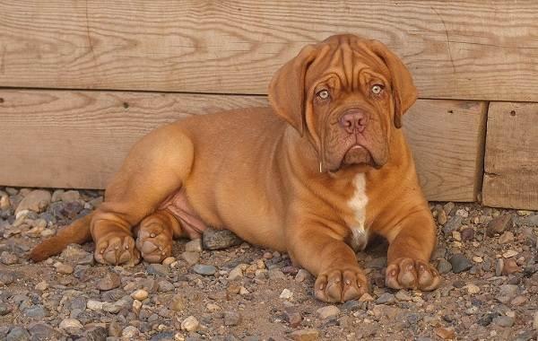 Бордосский-дог-собака-Описание-особенности-характер-уход-и-цена-породы-8