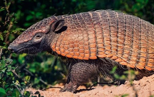 Броненосец-животное-Описание-особенности-виды-образ-жизни-и-среда-обитания-броненосца-1