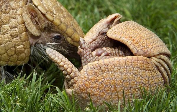 Броненосец-животное-Описание-особенности-виды-образ-жизни-и-среда-обитания-броненосца-11