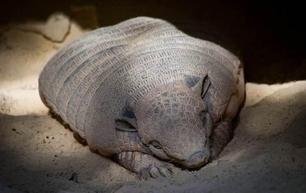 Броненосец-животное-Описание-особенности-виды-образ-жизни-и-среда-обитания-броненосца-12