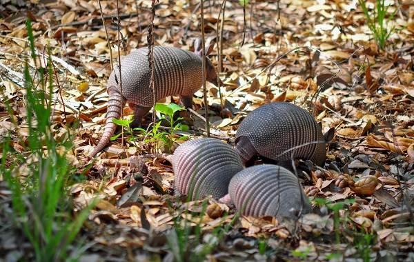 Броненосец-животное-Описание-особенности-виды-образ-жизни-и-среда-обитания-броненосца-13