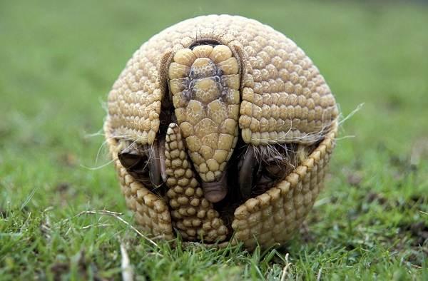 Броненосец-животное-Описание-особенности-виды-образ-жизни-и-среда-обитания-броненосца-14