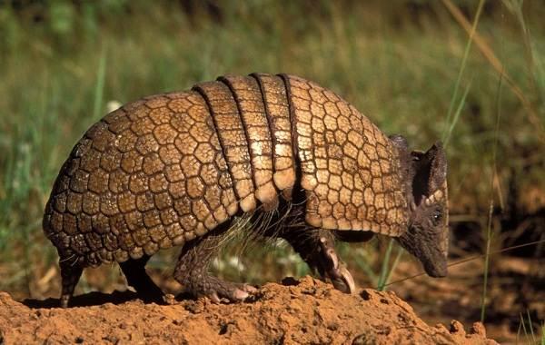 Броненосец-животное-Описание-особенности-виды-образ-жизни-и-среда-обитания-броненосца-2
