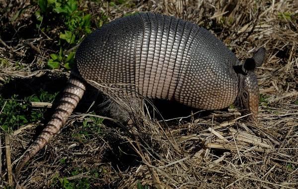 Броненосец-животное-Описание-особенности-виды-образ-жизни-и-среда-обитания-броненосца-3