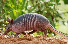 Броненосец животное. Описание, особенности, виды, образ жизни и среда обитания броненосца