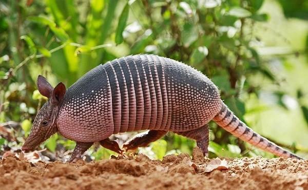 Броненосец-животное-Описание-особенности-виды-образ-жизни-и-среда-обитания-броненосца-4
