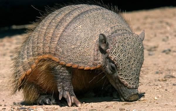 Броненосец-животное-Описание-особенности-виды-образ-жизни-и-среда-обитания-броненосца-5