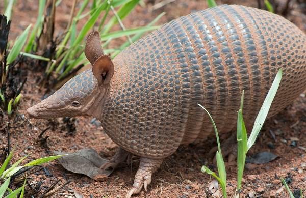 Броненосец-животное-Описание-особенности-виды-образ-жизни-и-среда-обитания-броненосца-6