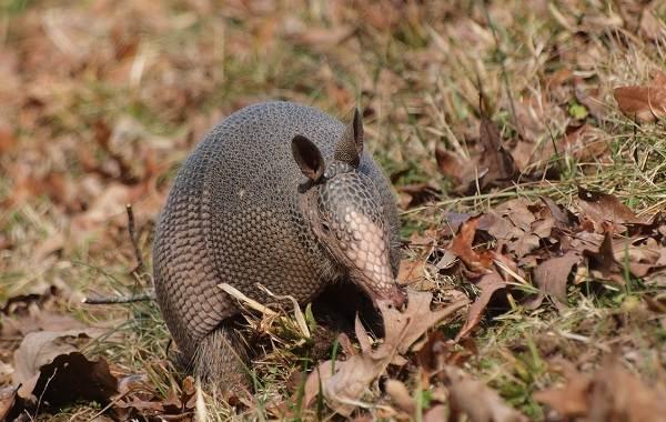 Броненосец-животное-Описание-особенности-виды-образ-жизни-и-среда-обитания-броненосца-9