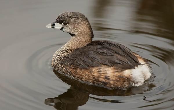 Чомга-птица-Описание-особенности-виды-образ-жизни-и-среда-обитания-чомги-1