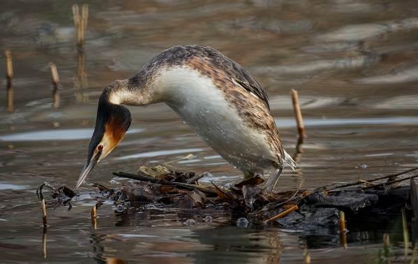 Чомга-птица-Описание-особенности-виды-образ-жизни-и-среда-обитания-чомги-11
