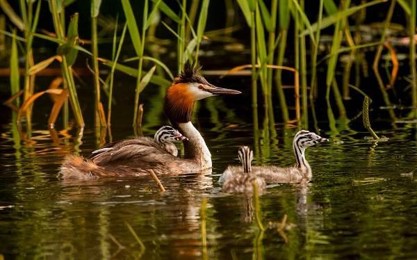 Чомга-птица-Описание-особенности-виды-образ-жизни-и-среда-обитания-чомги-12