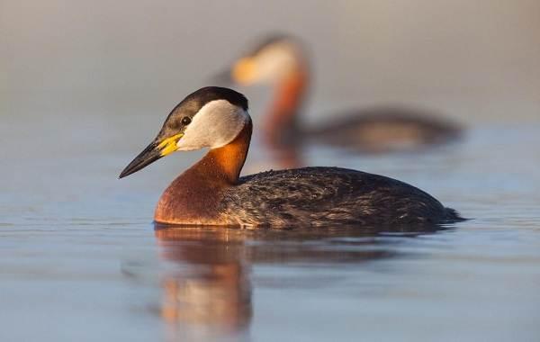 Чомга-птица-Описание-особенности-виды-образ-жизни-и-среда-обитания-чомги-3