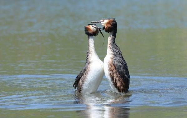 Чомга-птица-Описание-особенности-виды-образ-жизни-и-среда-обитания-чомги-7