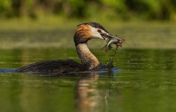 Чомга-птица-Описание-особенности-виды-образ-жизни-и-среда-обитания-чомги-8