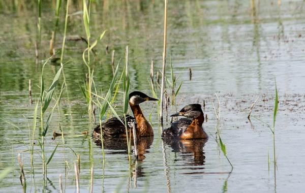 Чомга-птица-Описание-особенности-виды-образ-жизни-и-среда-обитания-чомги