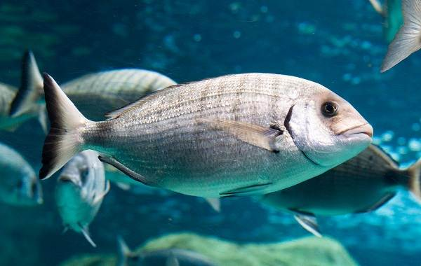 Дорадо-рыба-Описание-особенности-виды-образ-жизни-и-среда-обитания-дорадо-1