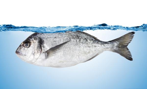 Дорадо-рыба-Описание-особенности-виды-образ-жизни-и-среда-обитания-дорадо-11