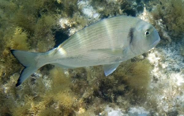 Дорадо-рыба-Описание-особенности-виды-образ-жизни-и-среда-обитания-дорадо-3
