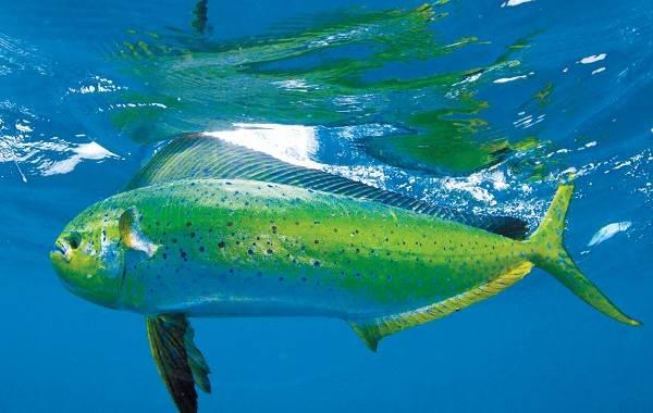 Дорадо-рыба-Описание-особенности-виды-образ-жизни-и-среда-обитания-дорадо-4