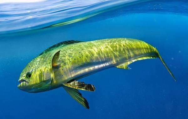Дорадо-рыба-Описание-особенности-виды-образ-жизни-и-среда-обитания-дорадо-5
