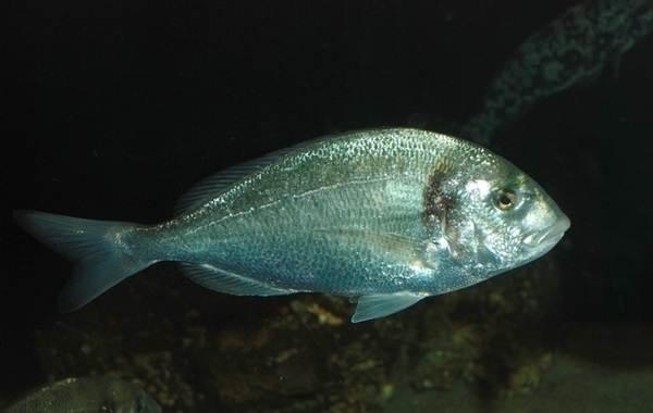Дорадо-рыба-Описание-особенности-виды-образ-жизни-и-среда-обитания-дорадо-6