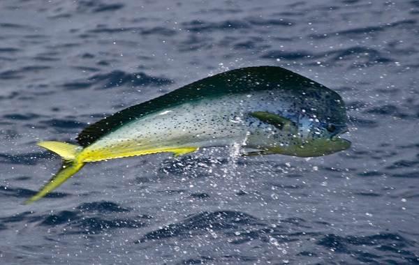 Дорадо-рыба-Описание-особенности-виды-образ-жизни-и-среда-обитания-дорадо-7