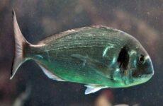 Дорадо рыба. Описание, особенности, виды, образ жизни и среда обитания дорадо
