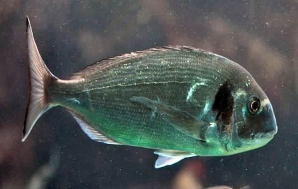 Дорадо-рыба-Описание-особенности-виды-образ-жизни-и-среда-обитания-дорадо-8