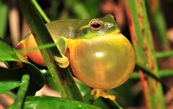 Древесная-лягушка-Описание-особенности-виды-образ-жизни-и-среда-обитания-древесных-лягушек-1