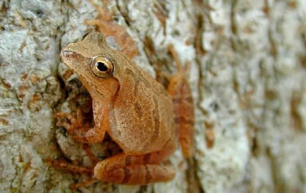 Древесная-лягушка-Описание-особенности-виды-образ-жизни-и-среда-обитания-древесных-лягушек-10